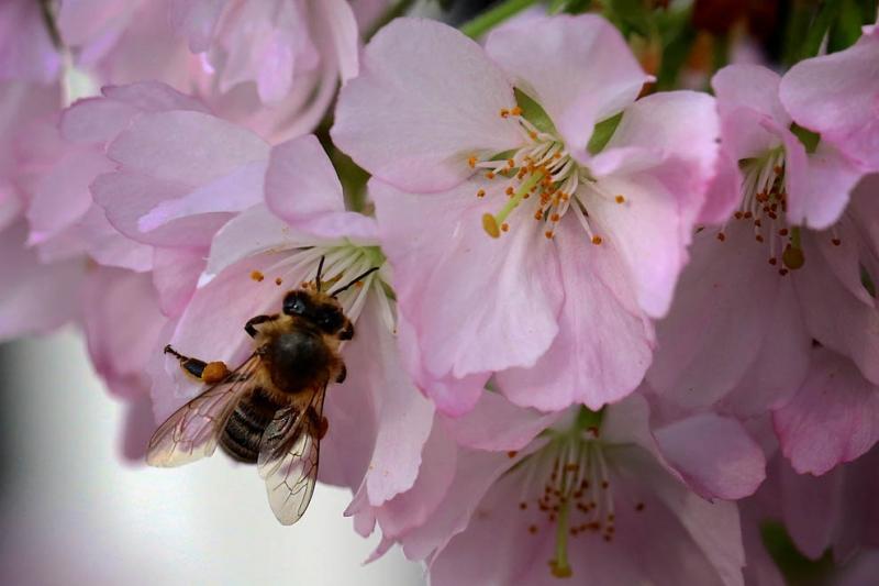 Japanischer Kirschbaum, Bigna